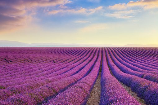 July「Lavender field at sunset in Provence, France」:スマホ壁紙(13)