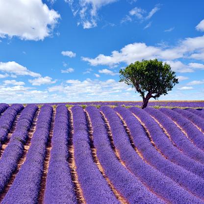 Alpes-de-Haute-Provence「Lavender Fields, Provence, France」:スマホ壁紙(12)