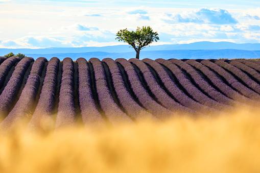 紫「夕暮れ時のラベンダー畑」:スマホ壁紙(19)