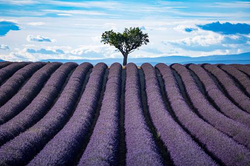 紫「夕暮れ時のラベンダー畑」:スマホ壁紙(16)