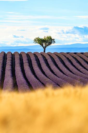 紫「夕暮れ時のラベンダー畑」:スマホ壁紙(15)