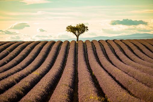 紫「夕暮れ時のラベンダー畑」:スマホ壁紙(13)