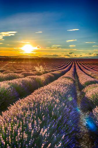 紫「夕暮れ時のラベンダー畑」:スマホ壁紙(17)