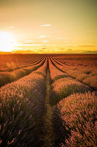 紫「夕暮れ時のラベンダー畑」:スマホ壁紙(14)
