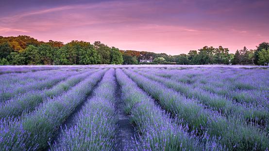 Long Island「Lavender fields」:スマホ壁紙(3)