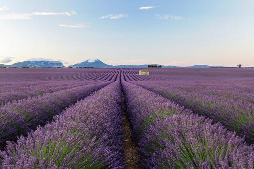 Provence-Alpes-Cote d'Azur「Lavender fields on the Plateau de Valensole, Provence.」:スマホ壁紙(11)