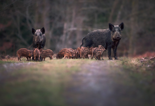 Wild Boar「Sounder of Wild boar (Sus scofa) family on footpath, Forest of Dean, Gloucestershire, England, UK」:スマホ壁紙(8)