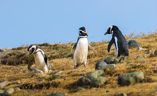 Magellan Penguin「Three Walking Magellan Penguins Against Blue Sky」:スマホ壁紙(6)