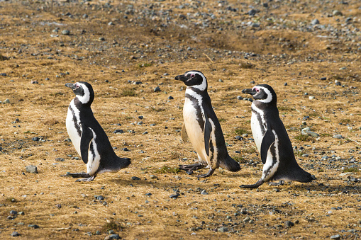 Magellan Penguin「Three Walking Magellan (Magellanic) Penguin」:スマホ壁紙(15)
