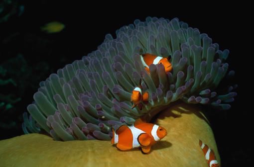 カクレクマノミ「Four False Clown Fish」:スマホ壁紙(2)