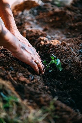 Planting「Tomato Seedlings」:スマホ壁紙(19)