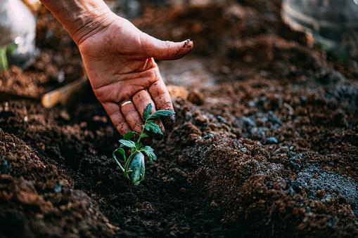 Agriculture「Tomato Seedlings」:スマホ壁紙(16)