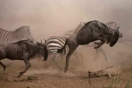 Ecosystem「wildebbest and Zebra running」:スマホ壁紙(0)