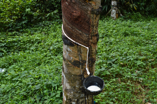Sri Lanka「Latex sap (rubber) being collected in a plantation」:スマホ壁紙(6)