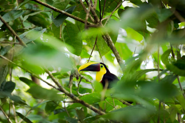 Chestnut-Mandibled Toucan, Costa Rica:スマホ壁紙(壁紙.com)