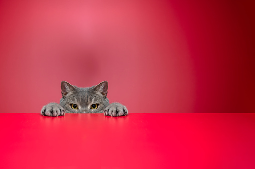 Animal Ear「Obese cat looking for food in front of a red background」:スマホ壁紙(16)