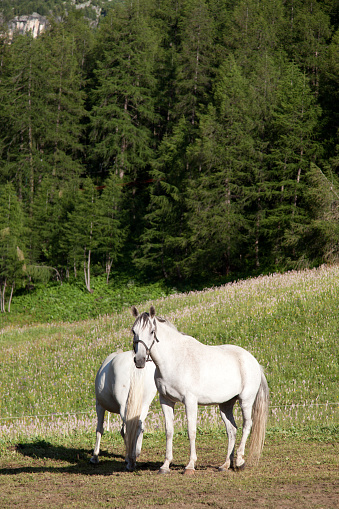 Val d'Isere「Two white horses in a meadow, Val d'Isere, France」:スマホ壁紙(7)