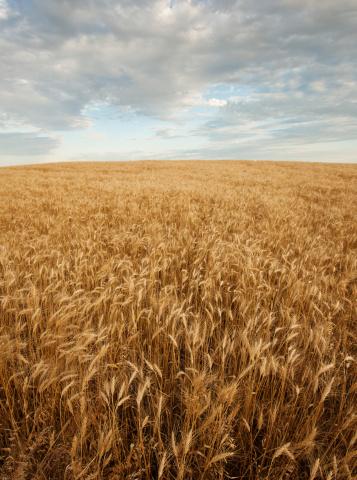 Farm「USA, South Dakota, Wheat field」:スマホ壁紙(17)