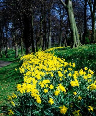 水仙「Ormeau Park, Belfast, Ireland」:スマホ壁紙(4)