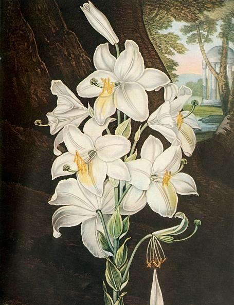 Stamen「The White Lily」:写真・画像(4)[壁紙.com]
