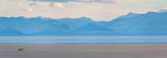 Arctic National Wildlife Refuge「Panorama of polar bear on sea ice」:スマホ壁紙(12)