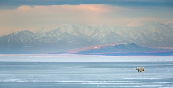 Dramatic Landscape「Panorama of Polar bear on sea ice」:スマホ壁紙(2)
