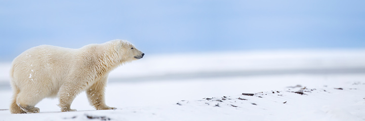 Arctic National Wildlife Refuge「Panorama of polar bear」:スマホ壁紙(7)
