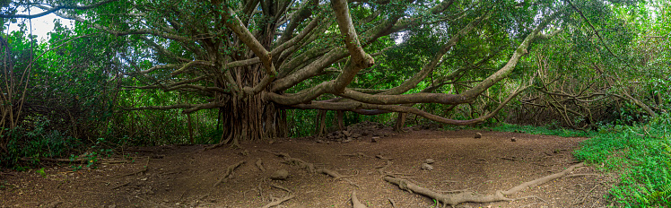 Volcanic Landscape「Panorama of a Banyan Tree on walking path,Kipahulu Visitor Centre,Maui,Hawaii,USA」:スマホ壁紙(16)