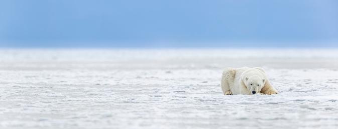 Arctic National Wildlife Refuge「Panorama of a polar bear on sea ice」:スマホ壁紙(19)