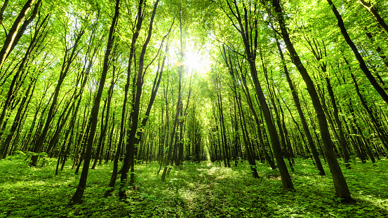 オーク林「春の森林のパノラマ」:スマホ壁紙(17)