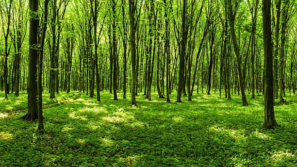 Panorama of spring forest:スマホ壁紙(壁紙.com)