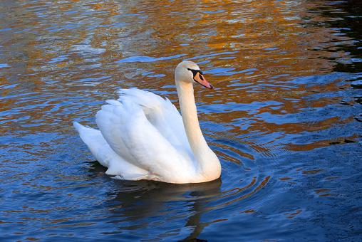 Keukenhof Gardens「Swan (Cygnus) swimming in Keukenhof Gardens, Keukenhof, Lisse, Holland」:スマホ壁紙(10)