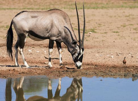 Gemsbok「Oryx leaks mineral, Kgalagadi Transfrontier Park, South Africa」:スマホ壁紙(17)