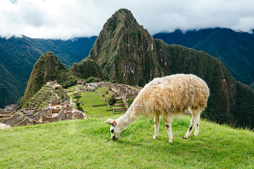 Mt Huayna Picchu「Peru, white llama eating grass with Machu Picchu citadel and Huayna Picchu mountain」:スマホ壁紙(19)