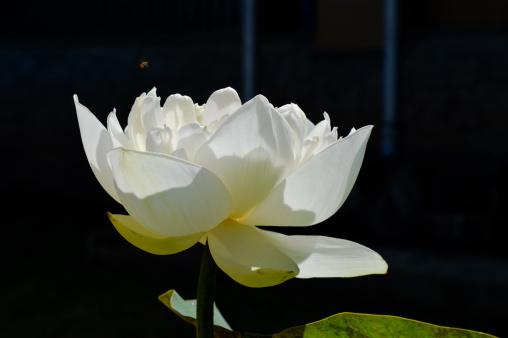Sri Lanka「Blossom white Lotus Flower」:スマホ壁紙(19)