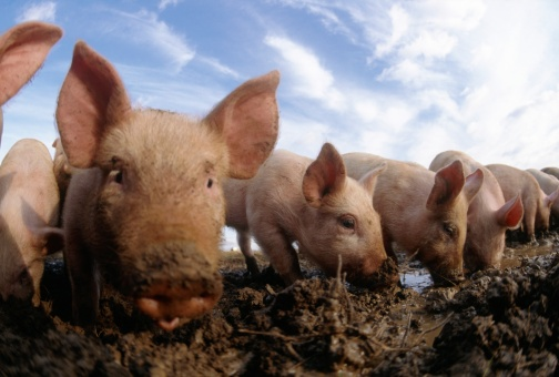 Mischief「Row of Free Range Piglets with Their Snouts in the Mud」:スマホ壁紙(10)
