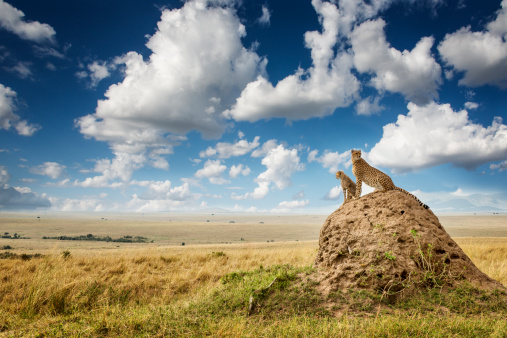 Animals In The Wild「Cheetah and cub watching from a mound」:スマホ壁紙(15)