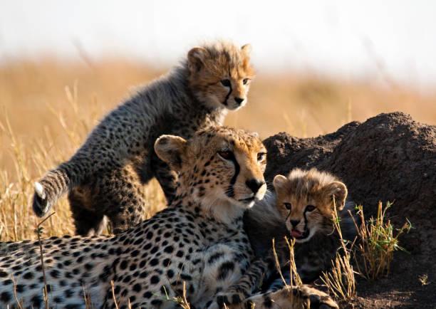 Cheetah and cubs:スマホ壁紙(壁紙.com)