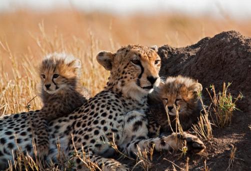 African Cheetah「Cheetah and cubs」:スマホ壁紙(14)