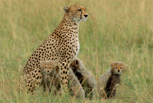 African Cheetah「Cheetah (Acinonyx jubatus) and cubs sitting in grass」:スマホ壁紙(1)