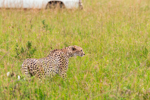 African Cheetah「Cheetah and Safari Car at Masai Mara」:スマホ壁紙(5)