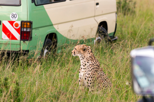 African Cheetah「Cheetah and Safari Car at Masai Mara」:スマホ壁紙(7)
