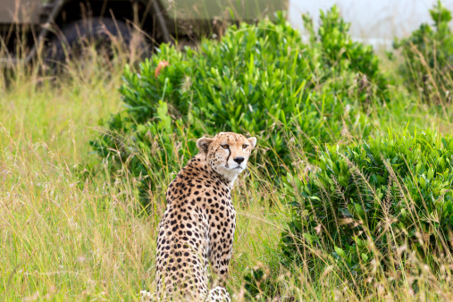 African Cheetah「Cheetah and Safari Car at Masai Mara」:スマホ壁紙(10)