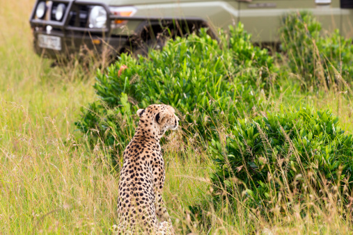 African Cheetah「Cheetah and Safari Car at Masai Mara」:スマホ壁紙(9)