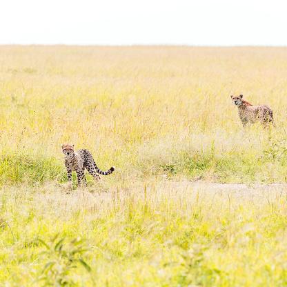 African Cheetah「Cheetah and cub - Watching」:スマホ壁紙(4)