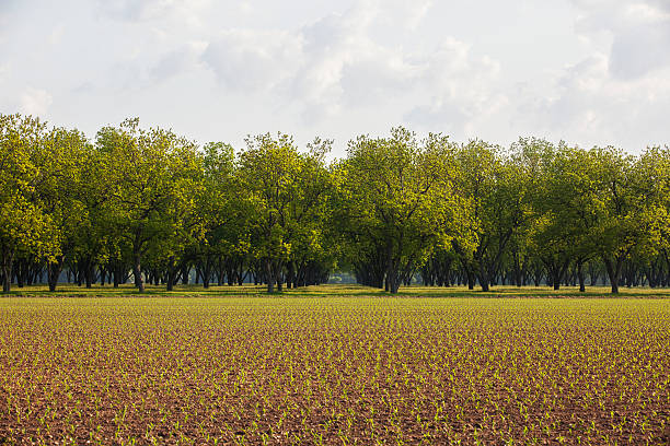 Pecan grove in background, with field of corn at seedling stage in foreground:スマホ壁紙(壁紙.com)