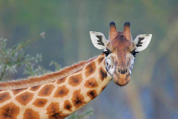 Rothschilds Giraffe:スマホ壁紙(壁紙.com)