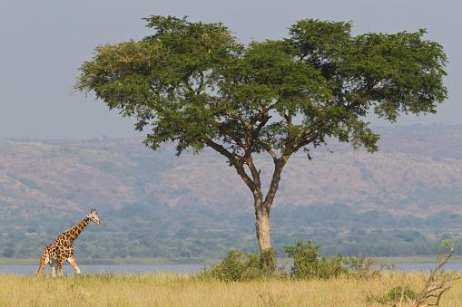Giraffe「Rothschilds giraffe, Giraffa camelopardalis rothschildi, Murchison Falls National Park, Uganda」:スマホ壁紙(1)