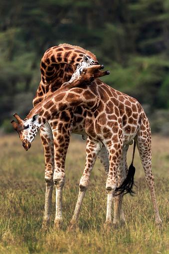 Giraffe「rothschilds giraffes necking」:スマホ壁紙(11)