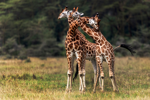 Giraffe「rothschilds giraffes necking」:スマホ壁紙(9)